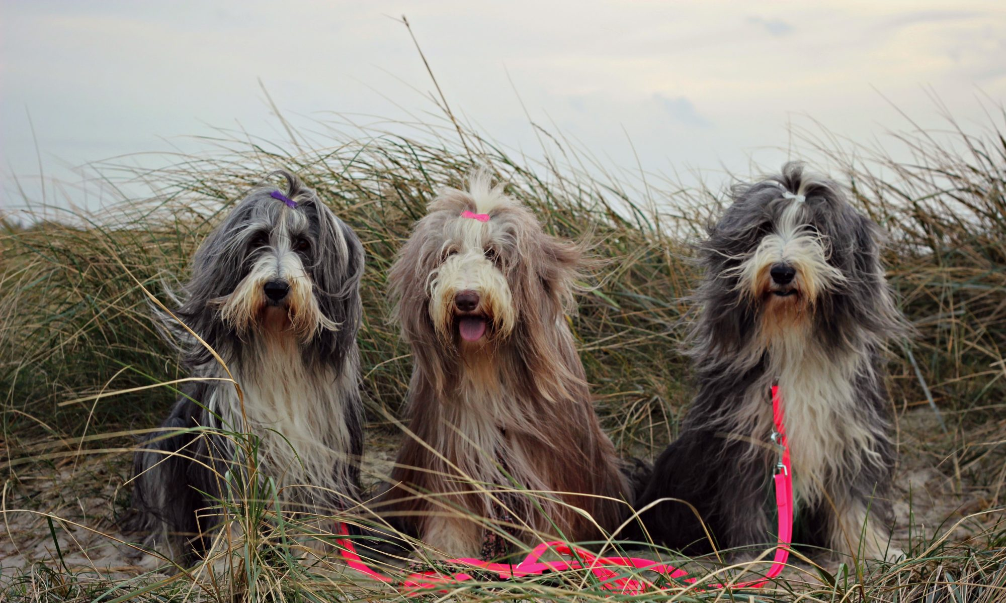 "Bearded Collies ""of Caledonian Tannach"""